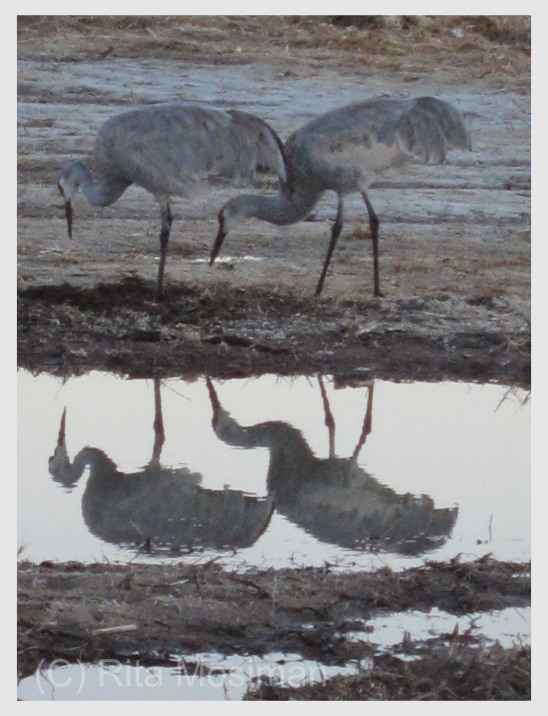 Sandhill Cranes by the bosque