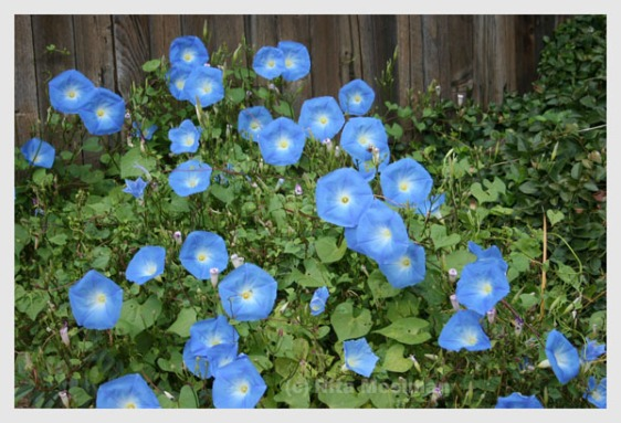Blue Morning glories bloom next to a dark wood fence
