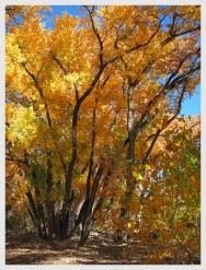 Yellow cottonwood trees