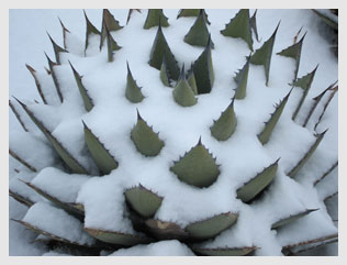 Aloe-in-snow