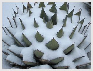 Aloe-in-snow